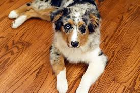 carmel pet flooring