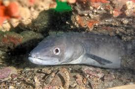 Морской угорь conger conger фото тело зубы плавники окраска  Морской угорь или конгер conger conger фото фотография рыбы