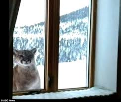 man has a terrifying face to face encounter with a mountain lion ring into his house in rocky mountains