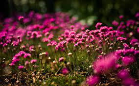Pink Flower Wallpaper For Desktop ...