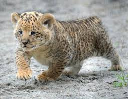 cute baby liger. Wonderful Liger With Cute Baby Liger