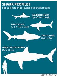 Mako Shark Size Chart Biggest Shark In History Megalodon