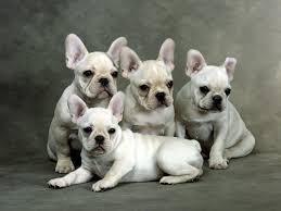grown white french bulldog.  Bulldog Grown White French Bulldog Inside