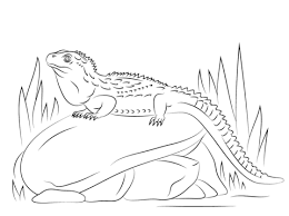 tuatara animal coloring pages