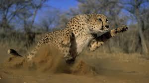 preview wallpaper cheetah jump run field gr dust