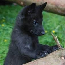 baby black wolf with blue eyes. Black Wolf Pup With Blue Eyescould Be Tyra As Puppy Throughout Baby Eyes