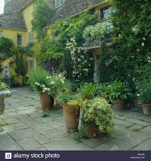 White Nicotiana And Olive Tree In Terracotta Pots In Small Wall Climbing Plants In Pots