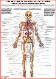 Circulatory System Major Arteries And Veins Chart Arteries