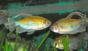 Small Picture Congo Tetra Phenacogrammus interruptus Characin Fish Guide