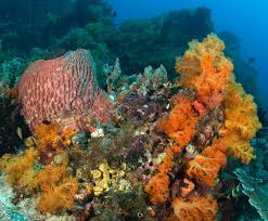 corals and coral reefs smithsonian ocean portal corals sponges and algae are the major components of most coral reef communities as
