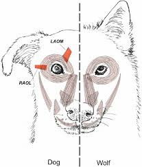Wolf Body Language Chart Evolution Of Facial Muscle Anatomy In Dogs Pnas