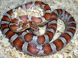 Image result for corn snakes