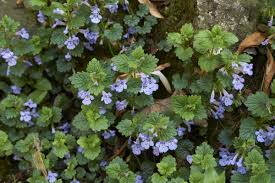 also known as ground ivy creeping charlie is a fast spreading and resilient weed capable of growing in either sun or shade because of its ability to