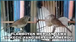Bulu burung merak jantan lebih indah dibandingkan dengan burung merak betina. Burung Flamboyan Betina Lagu Mp3 Video Mp4 3gp Waptrick