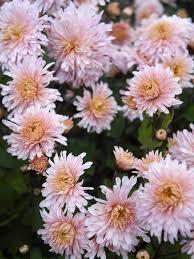 chrysanthemum helen mae