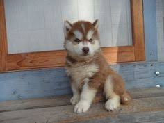 dark red husky puppy. Modren Puppy Dark Red Siberian Husky  Google Search  Husky Puppies Galore Pinterest  Red Husky Siberian Huskies And Animal And Dark Puppy R