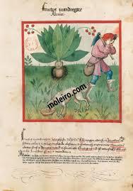 f. 37r, Frutto della mandragola