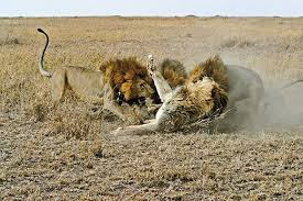 the truth about lions science smithsonian other and roaring rdquo packer says ldquohow can you not be incredibly viscerally moved by the power and energy rdquo ingela jansson serengeti lion project