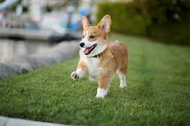 Pembroke Welsh Corgi Dog Breed Information Pictures