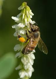 Melilotus albus - Wikipedia