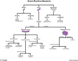 Gram Positive Bacilli Gram Positive Bacteria Microbiology Medbullets Step 1