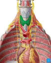Thyroid Anatomy Thyroid Gland Anatomy Functions And Hormones Kenhub