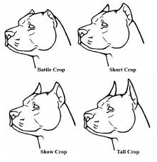 Pitbull Ear Crop Chart Pitbull Ear Cropping Styles Chart All About Style