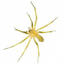 Desert Brown Recluse Spiders Exterminators Las Vegas Nevada