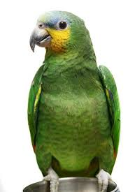 Image result for orange winged amazon