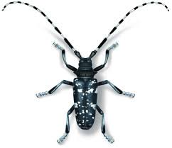 Help Stop The Asian Longhorned Beetle From Killing More Trees