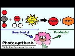 Light Reactions   CK    Foundation Photosynthesis