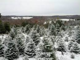 100  Nordmann Fir Christmas Tree Nj   Christmas Gifts Under Christmas Tree Cutting Nj