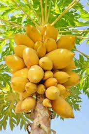 Growing The Avocado Tree  Persea AmericanaFruit Salad Trees Usa