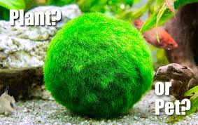 Decorating With Moss Balls Why is a Marimo Moss Ball the Perfect Bathroom Plant 78