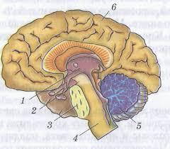 Контрольная работа по биологии класс на тему Нервная система  hello html m21164ab png