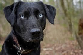 husky black lab mix puppy.  Mix Dog Photograph  Black With Blue Eyes Labhusky Mix By Amy Patterson On Husky Lab Puppy E