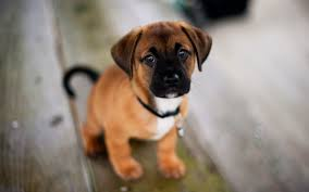 puggle puppies wallpaper. Wonderful Wallpaper Why Is Puppy Socialisation So Essential For Puggle Puppies Wallpaper P