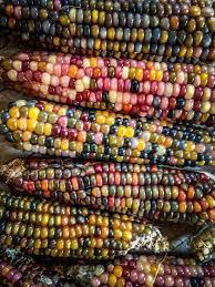 glass gem corn seeds 73 best multi colored corn images on
