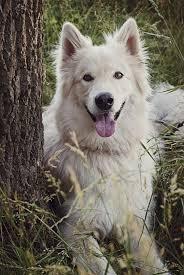 white german shepherd malamute mix. Neeko German Shepherd Alaskan Malamute Mix Also Called For White Pinterest