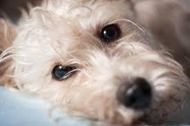 tumor of the eye in dogs
