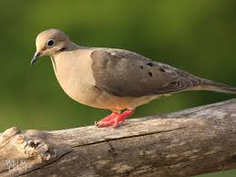 Image result for mourning doves