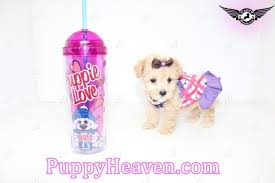 puppy heaven heavenly teacup toy puppies