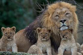 lion and three cubs lioness young