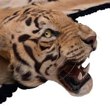 fantastic tiger rug share fake skin with full head