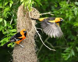 essay on wild life conservation essay on ecology essay on wild  fish and wildlife service altamira orioles tend a characteristically long nest at laguna atascosa national wildlife