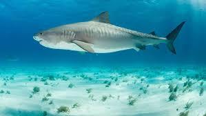 shark. Interesting Shark IStock With Shark