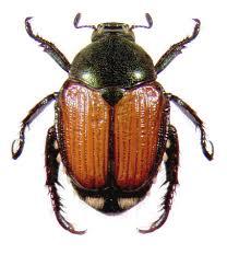 japanese beetles life cycle japanese beetle ohioline