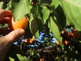 Apricot Harvest Time How And When To Pick Apricots