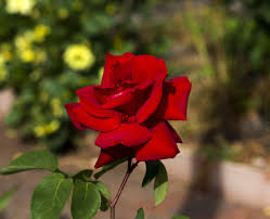 Garden Centre Kitchener Buy Hybrid Tea Rose Rose In Kitchener Waterloogreenway Blooming Centre