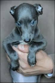 Small Picture The 25 best Italian greyhound ideas on Pinterest Italian